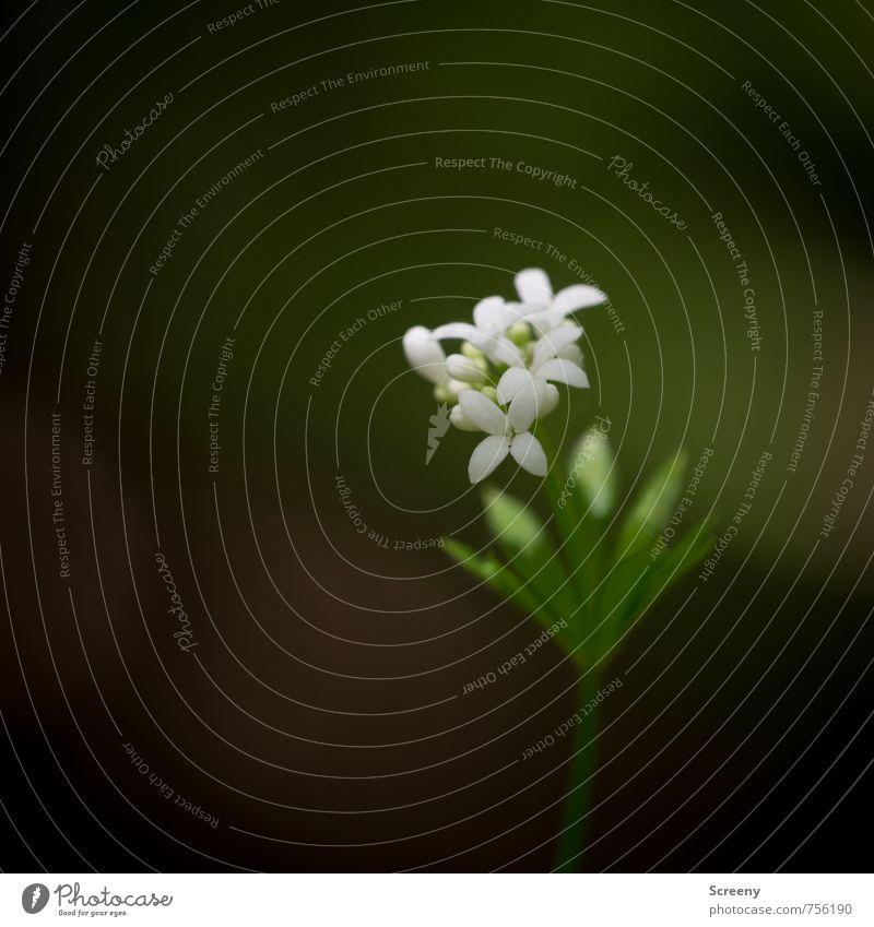 Zartmeister Natur schön grün weiß Pflanze Blume ruhig Blatt Wald Frühling Blüte klein elegant Wachstum Blühend Duft