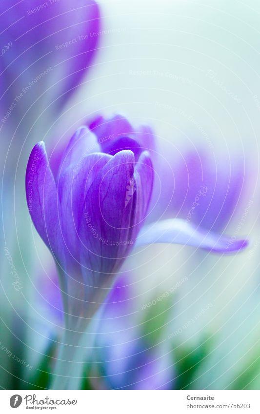 Krokus des Frühlings Umwelt Natur Pflanze Sonnenlicht Schönes Wetter Blume Blüte Wildpflanze Wiese Wald ästhetisch Duft einfach elegant nah natürlich schön