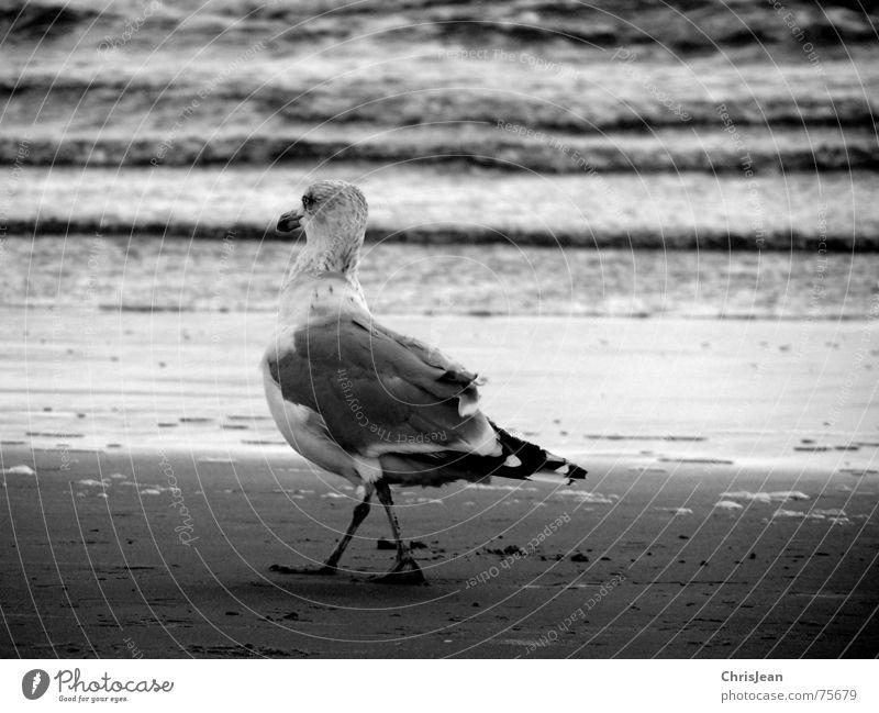 Titellos Strand Meer Tanzen Beine Sand Wasser Vogel gehen laufen schwarz weiß Borkum Alkoholisiert Möwe Möwenvögel Feder Schnabel tümplen weiß-schwarz ws dance