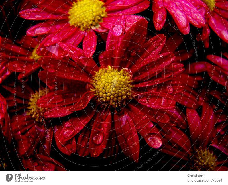 Titellos Wassertropfen Blume Blüte stark rot extrem Blütenblatt stechende frarben Pollen flower flowers red Farbfoto