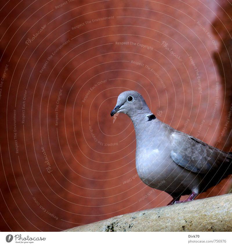 Taube auf barockem Brunnen weiß Einsamkeit rot Haus Tier schwarz Wand Herbst Mauer grau Stein braun Vogel sitzen Wildtier warten