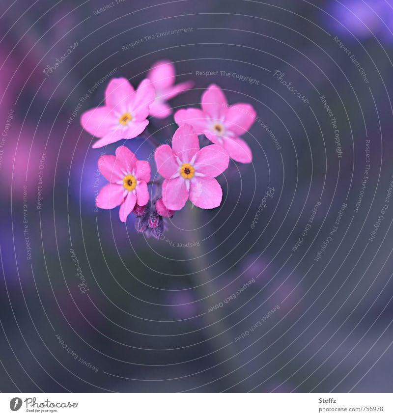 Vergissmeinnicht in Rosa romantisch Rosylva blühende Waldplfanze Frühlingsblume heimisch Vergissmeinnichtblüte heimische Wildblume einzigartig Waldpflanze