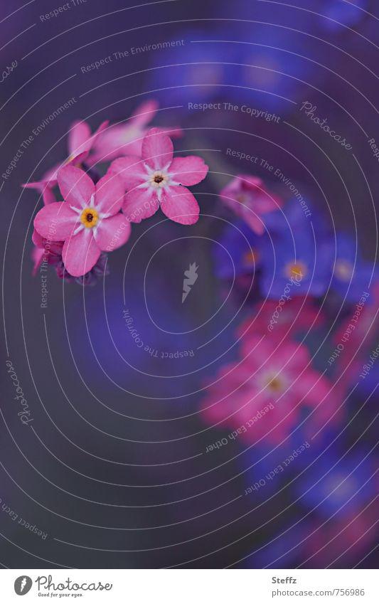 Vergißmeinnicht blüht blau und rosa Vergißmeinnichtblüte Frühlingsblumen romantisch blühende Frühlingsblumen Waldblumen Romantik blühende Wildblumen