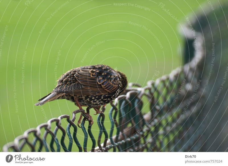 Ich duck' mich weg ... Natur Tier Gras Paris Frankreich Park Zaun Drahtzaun Maschendrahtzaun Wildtier Vogel Singvögel Star 1 Metall hocken Blick sitzen klein