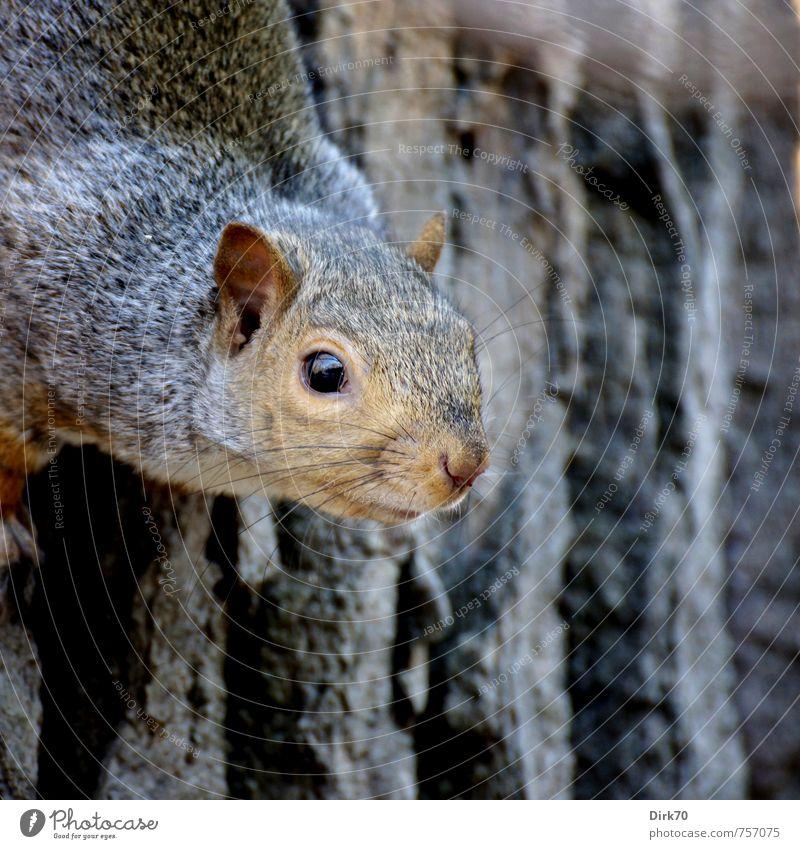 Naseweiser Nager Umwelt Tier Herbst Baum Baumstamm Baumrinde Park Wald Montreal Kanada Wildtier Nagetiere Eichhörnchen 1 beobachten Blick Sport frech frei klein