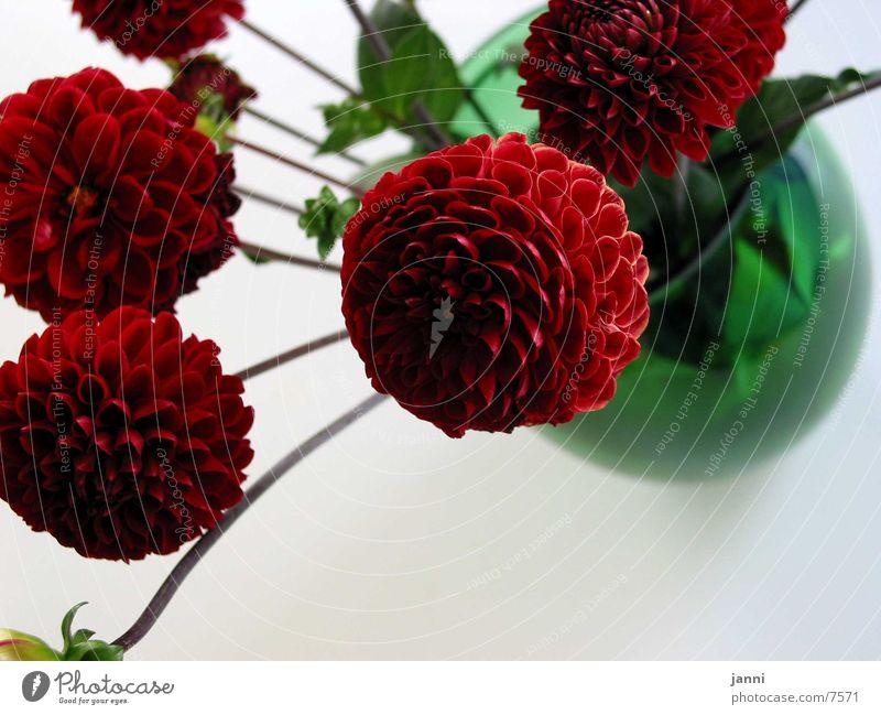 blumen in rot Blume Blüte Fototechnik Makroaufnahme