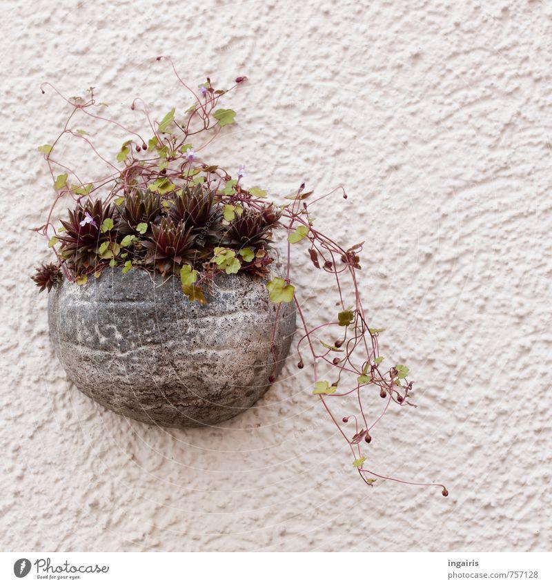 Hofdeko schön grün Pflanze rot Blume Blatt Wand Mauer Blüte grau Stein Fassade Wachstum Dekoration & Verzierung Blühend hängen