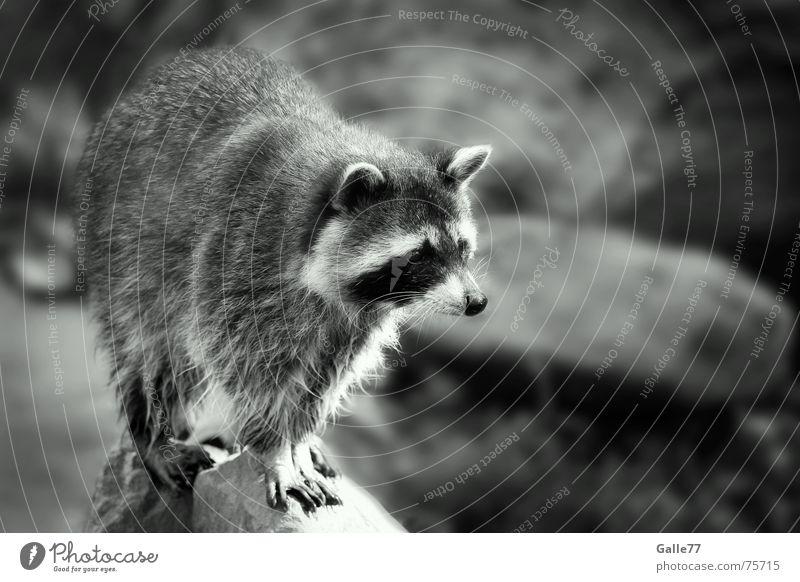 kleiner Waschbär Tier niedlich süß Gesichtsmaske raccoons bert ralph melissa cyril sneer cedric sneer kleinbär