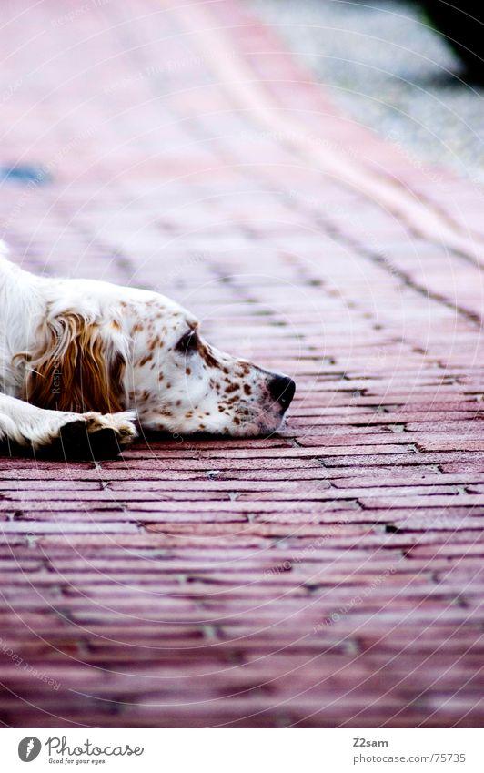 flatly dog Hund Erholung flach Muster Tier liegen erstaunt Müdigkeit Bodenbelag Stein Seil animal