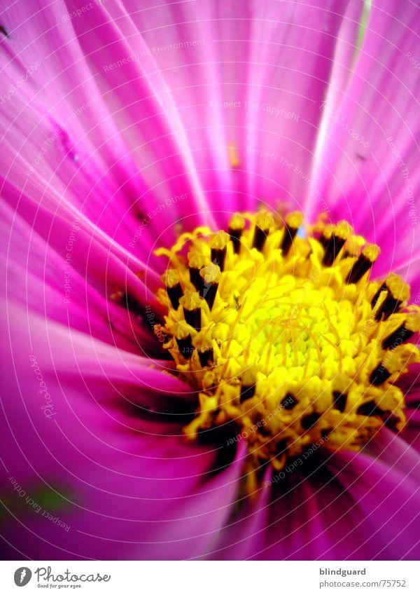 Nur e Blümsche Freude gelb Blüte Garten rosa Kreis Samen Gärtner