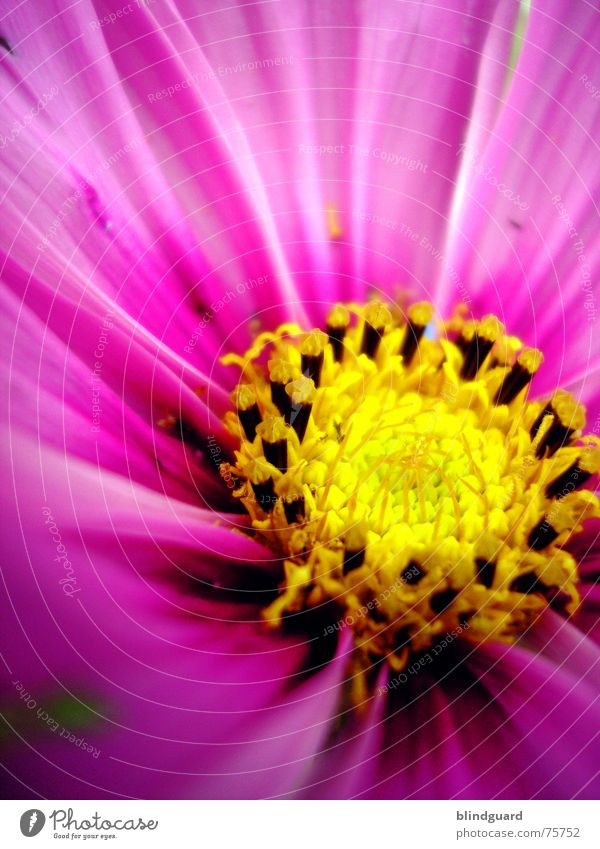 Nur e Blümsche gelb rosa Makroaufnahme Blüte Gärtner Samen garten natur mehrfarbig Kreis Freude Garten garden flower leuchten
