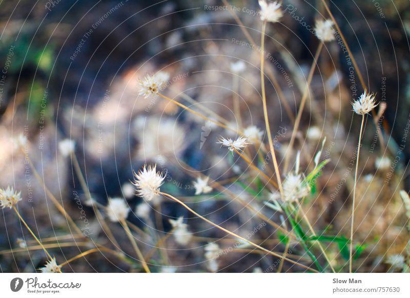 Disteln sind auch Blumen Natur Pflanze Gras Wildpflanze Duft braun grün weiß Hoffnung Einsamkeit kalt Umweltschutz Blüte Feld Sträucher vertrocknet