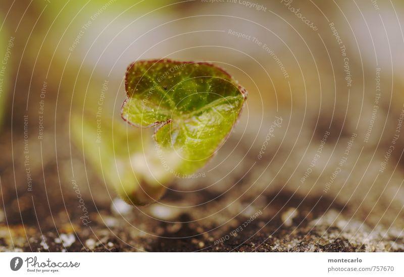 Nachwuchs Umwelt Natur Pflanze Erde Sonnenlicht Blatt Grünpflanze Wildpflanze Stein dünn authentisch einfach glänzend klein nah natürlich Wärme wild grün