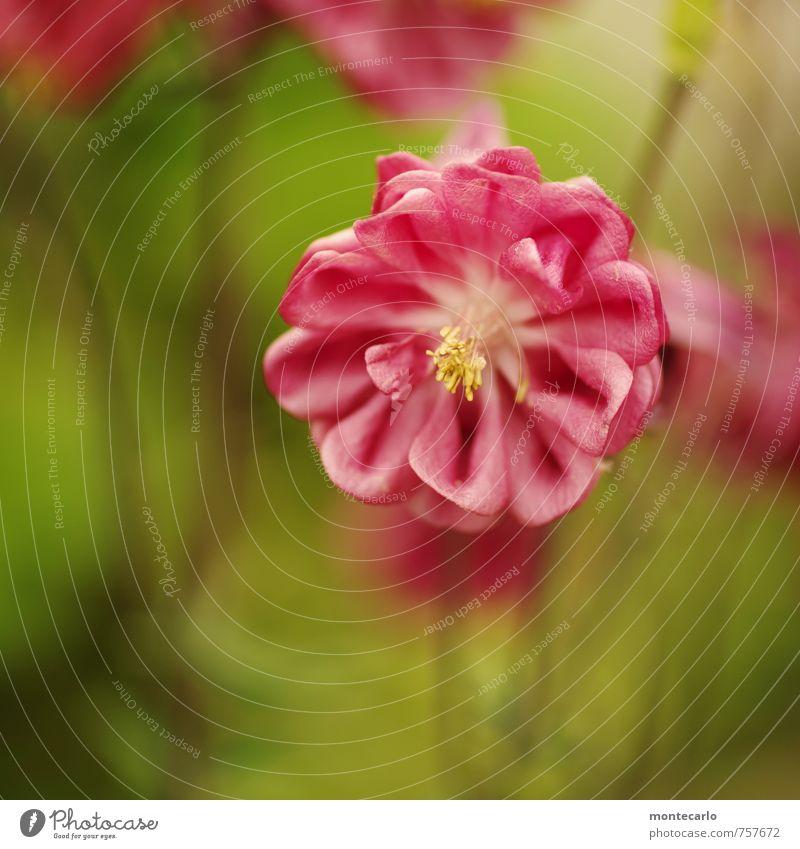 summer Natur schön grün Pflanze Sommer Blume Blatt Umwelt Gras Blüte klein natürlich rosa authentisch rund Duft