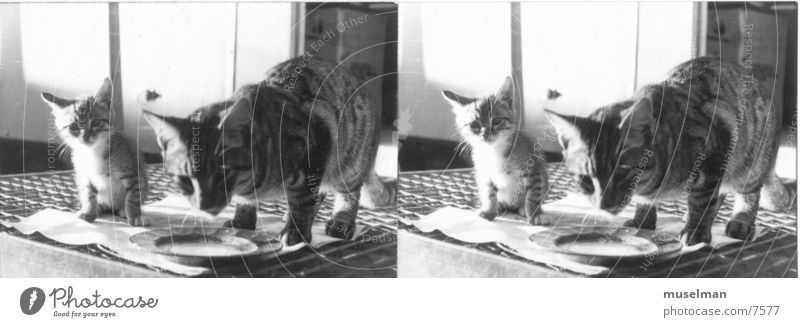 Katz Katze