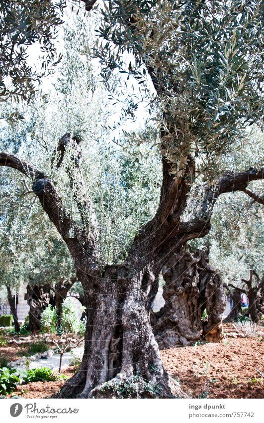 Olivenbaum Umwelt Natur Landschaft Pflanze Baum Ölberg Garten Park Israel Jerusalem Wachstum alt Christentum Farbfoto Außenaufnahme Menschenleer Tag Licht