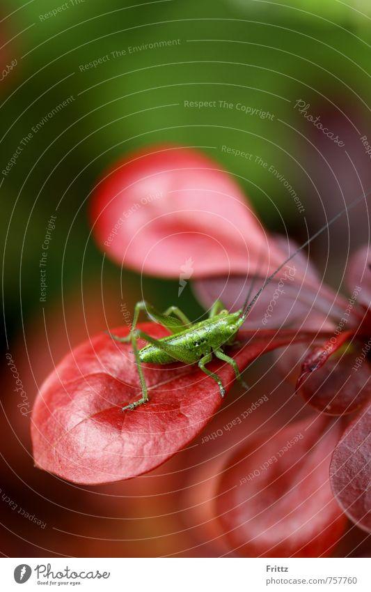 Flip Natur grün Pflanze rot Tier Tierjunges sitzen Sträucher Insekt Heuschrecke Fluginsekt Berberitze Langfühlerschrecke Sechsfüßer Grünes Heupferd