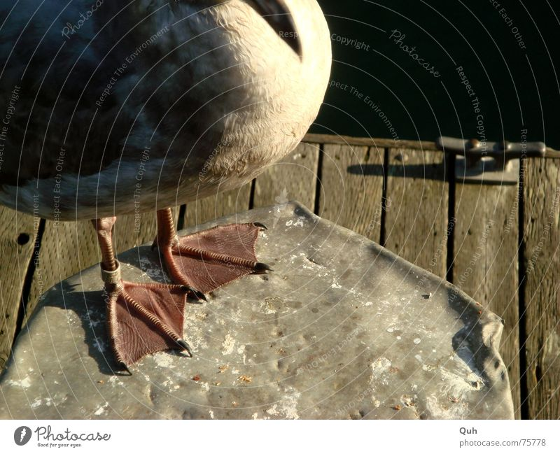 Gummi Füße Meer Tier Holz Fuß See Beine Vogel Feder Steg Möwe Schnabel Pfosten Krallen Poller