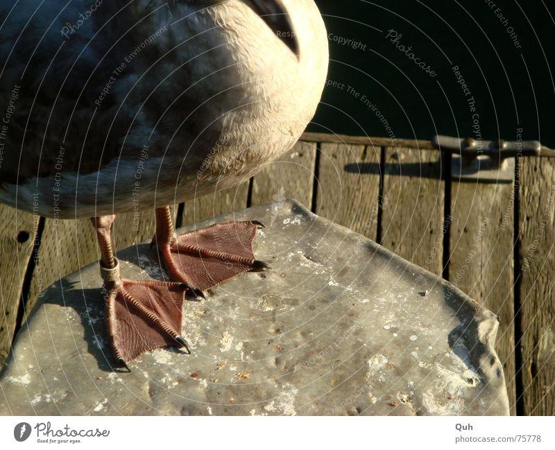 Gummi Füße Möwe Vogel Schnabel Poller Pfosten Steg Holz See Meer Krallen Tier Feder Fuß Beine