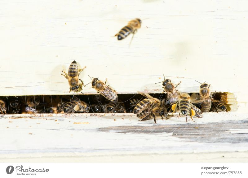 Natur blau Sommer Tier Umwelt natürlich Arbeit & Erwerbstätigkeit Aktion Insekt Biene heimwärts Mitarbeiter Schwarm Biologie Bienenstock Stich