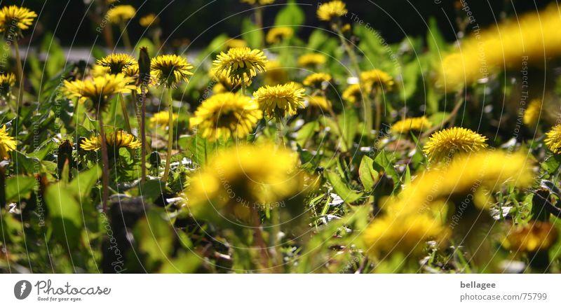 löwenzahn Natur Blume grün Pflanze gelb Löwenzahn Unkraut