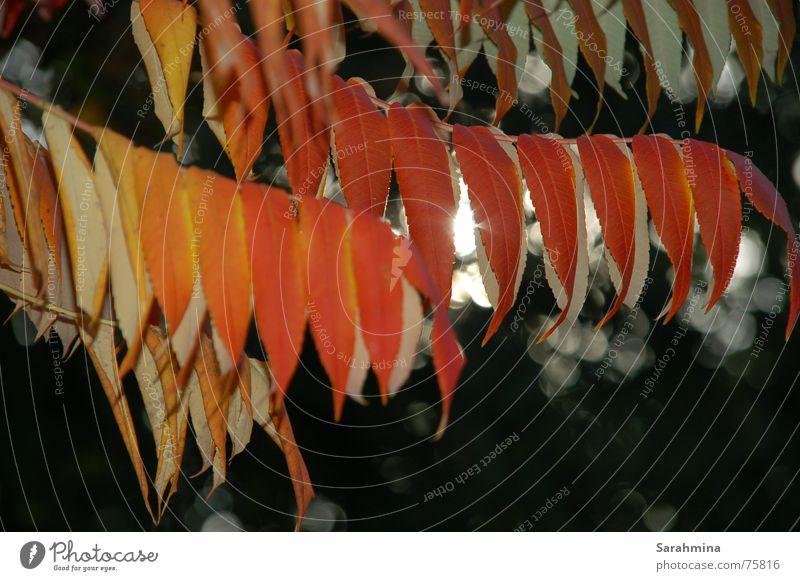 Herbstbild Natur Pflanze rot Blatt gelb Sträucher Zweig hängend Lichtschein