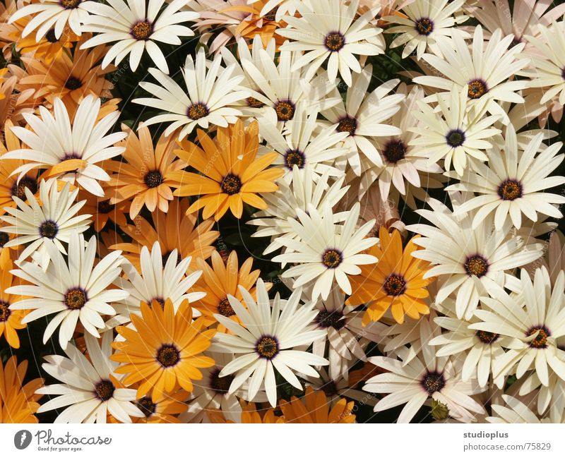 Blumenmeer Natur weiß Blume Blüte orange Blumenstrauß