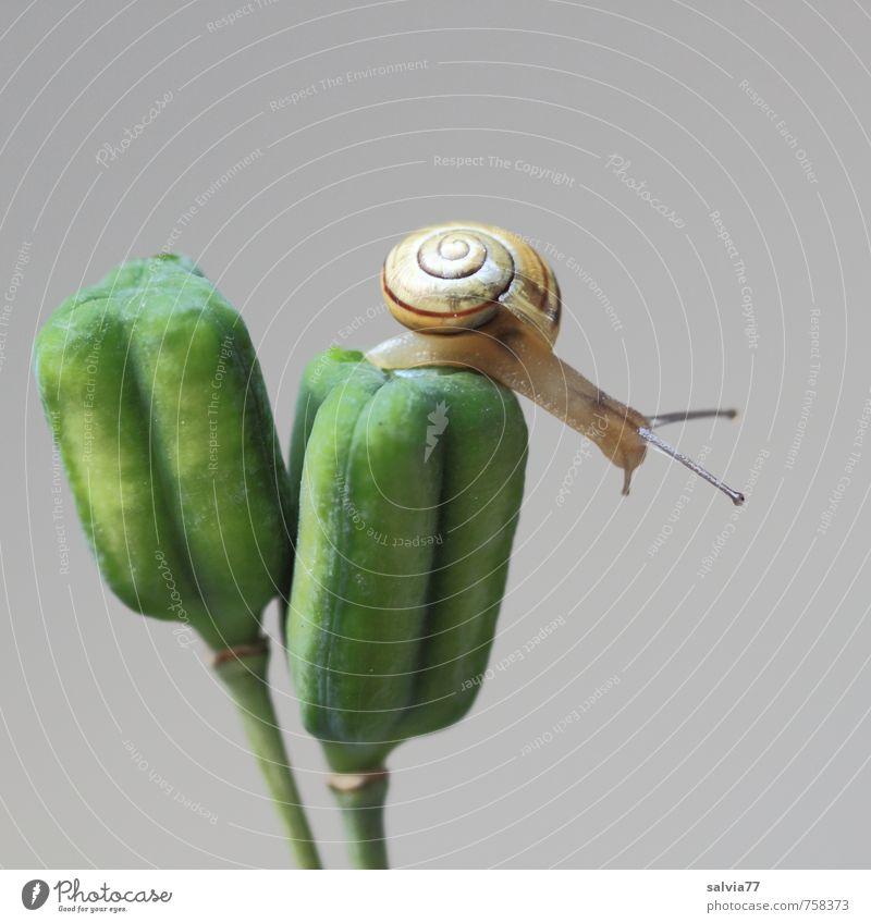 oben und nun? Umwelt Natur Pflanze Tier Grünpflanze Wildtier Schnecke 1 berühren dünn einfach klein nackt Neugier gelb grau grün geduldig ruhig Ziel Fühler
