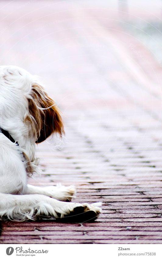 what was that? vergangen Hund Tier süß Erholung Pfote Fell weiß braun beige rot Verlauf Wege & Pfade Blick rückwärts dog animal liegen Ohr Bodenbelag