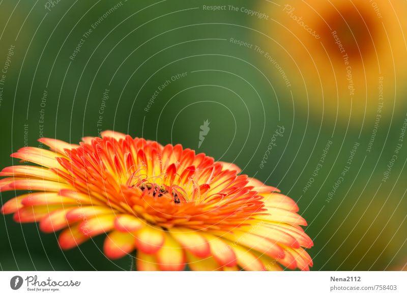 Sommer Umwelt Natur Pflanze Blume Blüte Blühend leuchten rund mehrfarbig gelb gold orange sommerlich Farbfoto Außenaufnahme Nahaufnahme Detailaufnahme