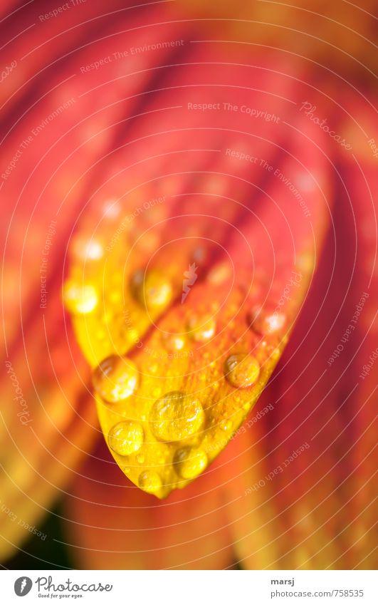 Taufrisch Pflanze Wasser Wassertropfen Frühling Sommer Blume Blüte Nutzpflanze Gerbera Blütenblatt Blühend leuchten elegant mehrfarbig gelb rot Farbfoto