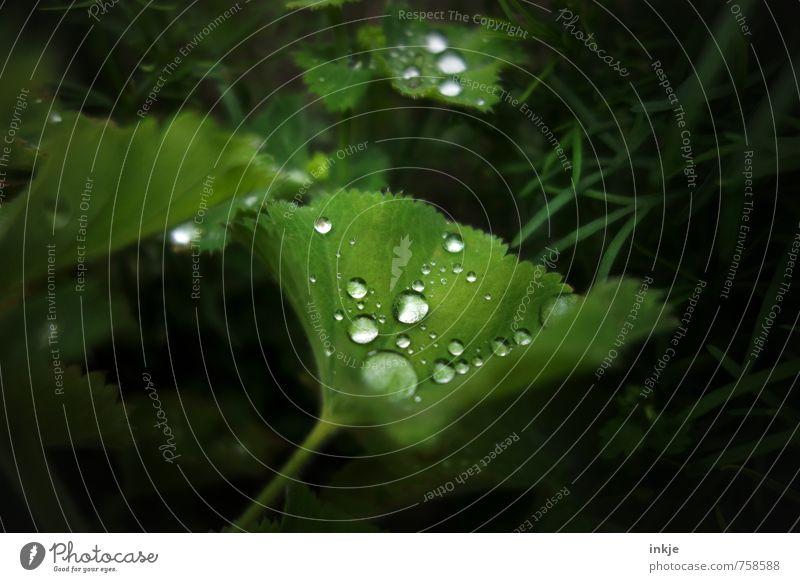 Nachts im Mondschein lag auf einem Blatt ... Natur grün Wasser Sommer Umwelt Frühling Garten Park Wetter Regen Idylle frisch nass Schönes Wetter Wassertropfen