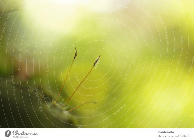 kleine welt Umwelt Natur Pflanze Moos Blüte Grünpflanze Wildpflanze dünn einfach frisch natürlich Spitze weich grün Farbfoto mehrfarbig Außenaufnahme