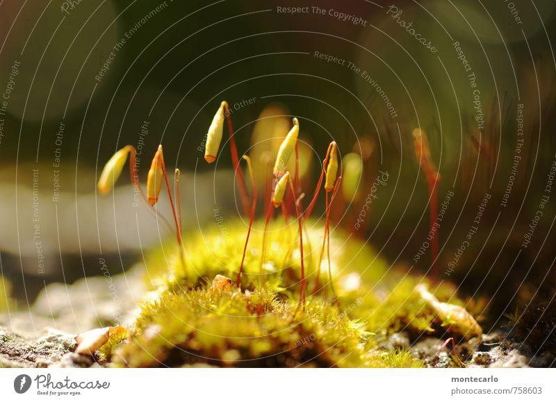 Moosis Umwelt Natur Pflanze Sonnenlicht Blüte Grünpflanze Wildpflanze dünn authentisch einfach klein nah natürlich Wärme wild weich grün Farbfoto mehrfarbig