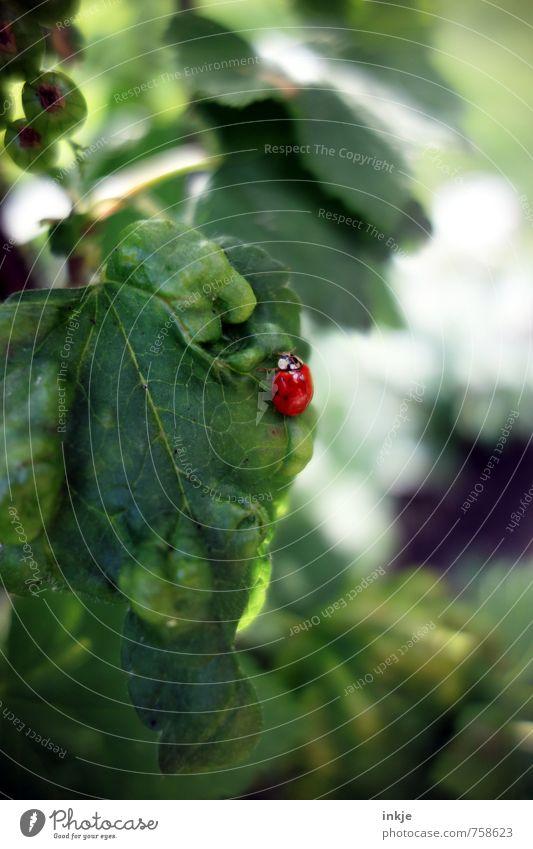 Komplementärkäfer Natur Frühling Sommer Schönes Wetter Pflanze Blatt Nutzpflanze Johannisbeerblatt Johannisbeerstrauch Johannisbeeren Tier Käfer Marienkäfer 1