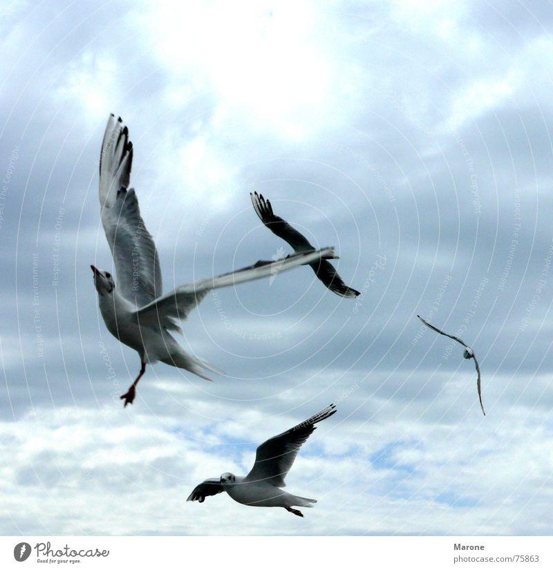 Möwen See Schwerelosigkeit Wolken Sturm Vogel Tier flattern Licht Himmel Meeresvogel Windböe Freiheit Luftverkehr blau Schwarm Natur clouds sky seagulls