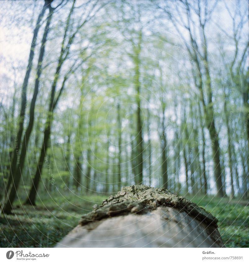 Wald aus Sicht eines Käfers Natur Landschaft Frühling Baum Moos Grünpflanze Baumstamm Menschenleer beobachten entdecken Erholung Unendlichkeit braun grün ruhig