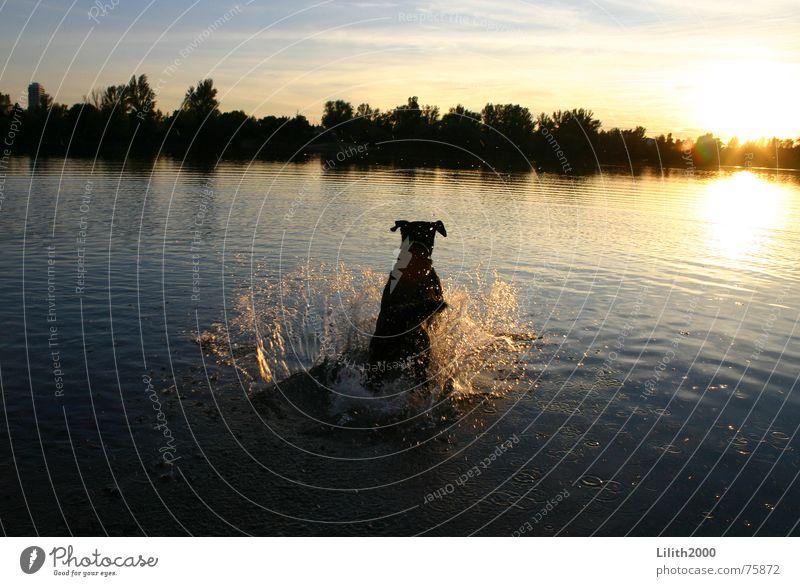 Und Laika sprang in den Sonnenuntergang ... Wasser Sonne Tier Herbst springen Hund See Teich Labrador