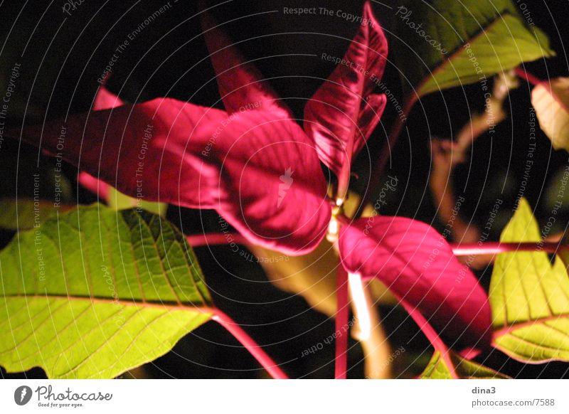 rote Blätter Planzen