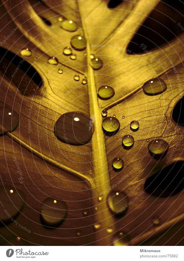 Regen Wasser Wassertropfen Tau Tropfen Tränen Trinkwasser nass feucht Feuchtgebiete Blatt Blattadern Gefäße braun Gold Pflanze Blume Natur Wiese Trauer kalt