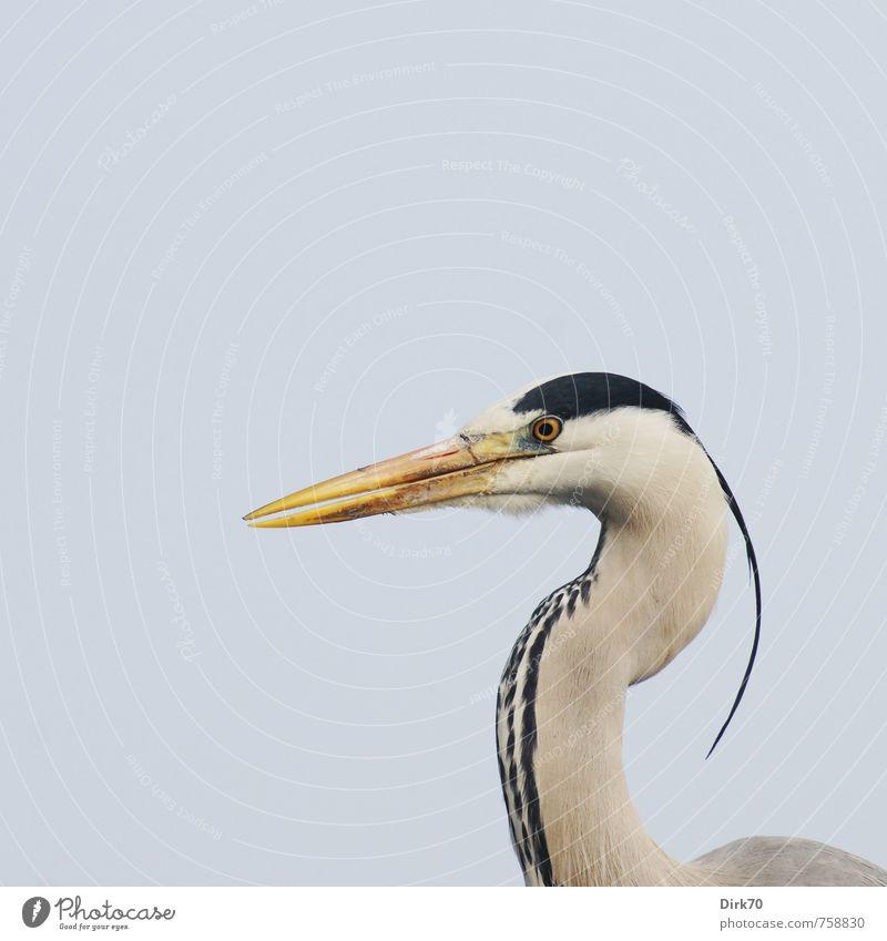 Erhobenen Hauptes blau Tier schwarz gelb Umwelt Leben grau Vogel elegant Wildtier warten ästhetisch Spitze bedrohlich beobachten Konzentration