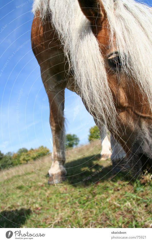 unbekanntes pferd Ernährung Haare & Frisuren Freizeit & Hobby Spielen Sommer Auge Natur Landschaft Tier Fell Haustier Pferd Fressen stehen nah Gelassenheit