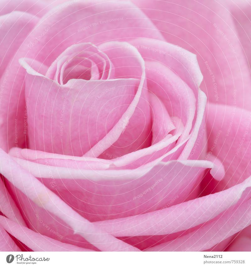 Rosa Rose Natur Pflanze Sommer Umwelt Blüte Liebe Gefühle Frühling natürlich Glück Garten hell rosa Park elegant ästhetisch