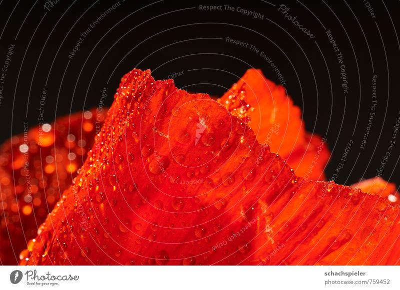Mohn, nass Wasser Pflanze Blume Blüte Mohnblüte rot Blütenblatt Wassertropfen Farbfoto Studioaufnahme Nahaufnahme Detailaufnahme Makroaufnahme Menschenleer