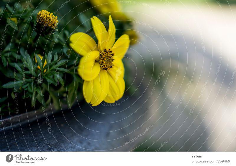 Gelbe Randerscheinung Pflanze Frühling Blume Topfpflanze Garten Park Blühend verblüht Wachstum gelb grün Farbfoto Außenaufnahme Nahaufnahme Tag