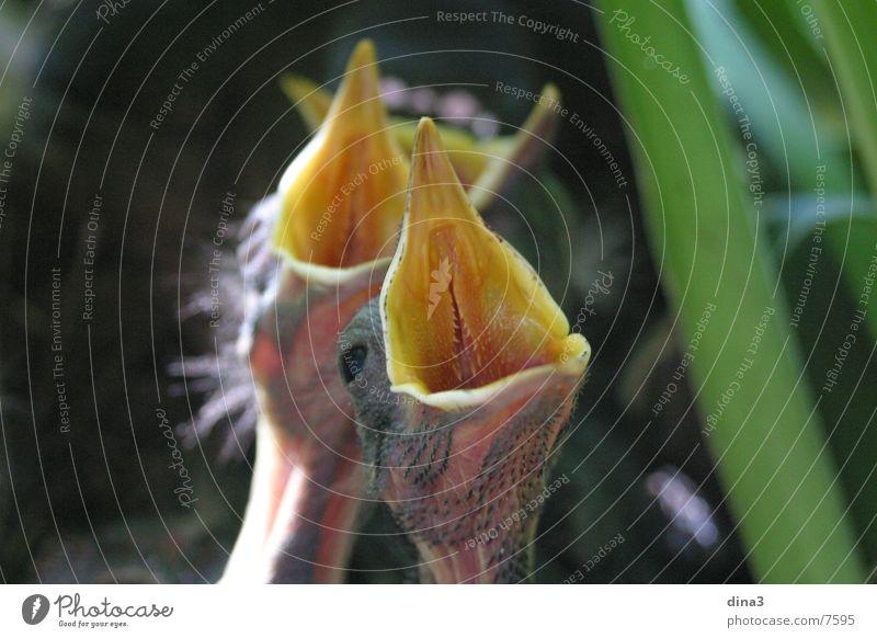 Hunger Schnabel Vogel Amsel Nest Kücken