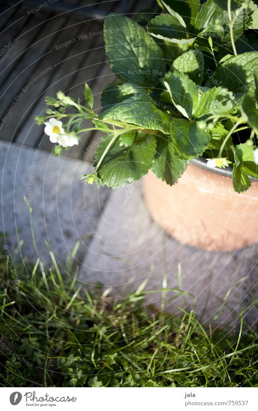 topferdbeeren Pflanze Blatt Gras Blüte natürlich Garten Erdbeeren Nutzpflanze Topfpflanze