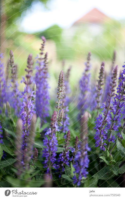 lila Natur schön Pflanze Blume Blatt Blüte Garten ästhetisch weich