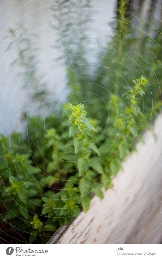 kräuterhochbeet Pflanze Blatt Nutzpflanze Kräuter & Gewürze Kräutergarten Garten frisch Gesundheit nachhaltig natürlich Farbfoto Außenaufnahme Menschenleer Tag