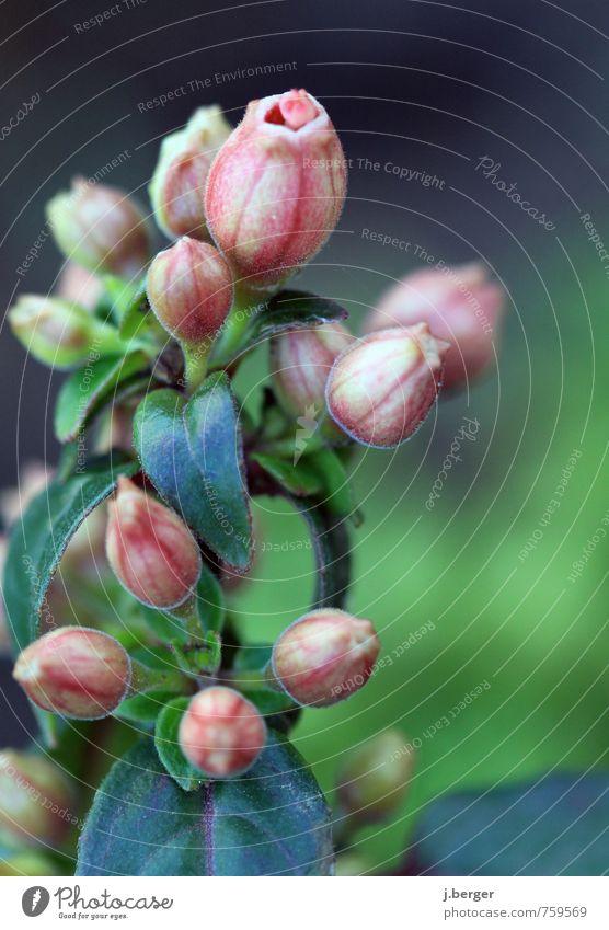 rosé II Umwelt Natur Pflanze Sommer Blume Rose Blatt Blüte Wildpflanze exotisch schön grün rosa Farbfoto Gedeckte Farben Außenaufnahme Nahaufnahme